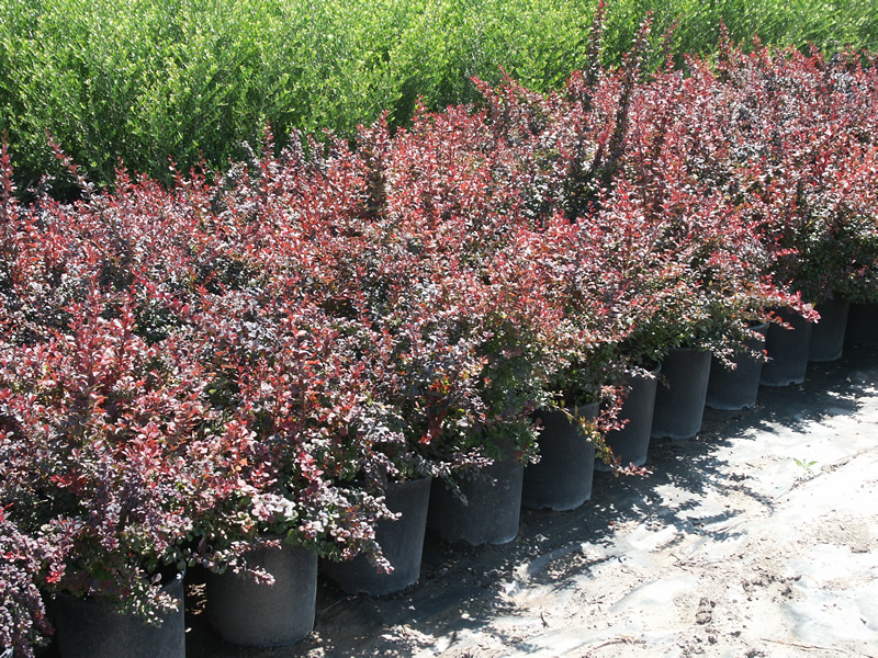 Berberis T Atropurpurea Red Barberry 5