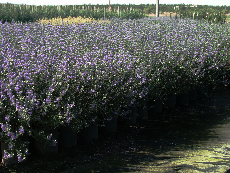 Caryopteris X Cl Dark Knight Bluebeard 5 B